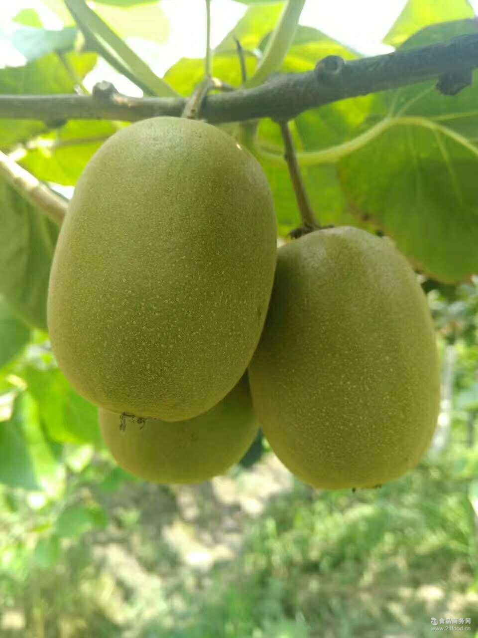 新鲜水果红阳奇异果蒲江红心猕猴桃12个中果香甜爽口单果70-90g