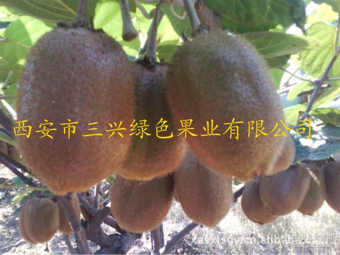 周至猕猴桃--徐香