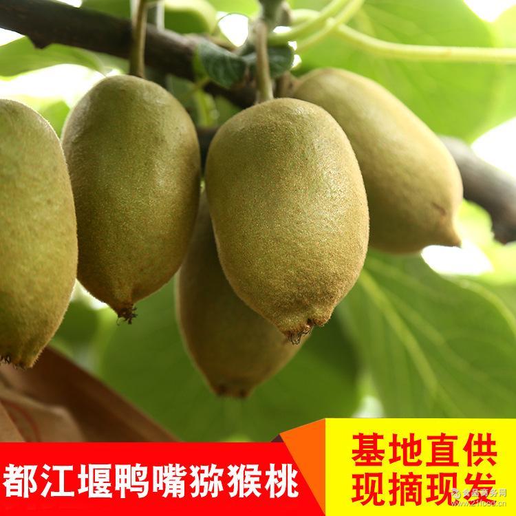 预售四川鸭嘴金果奇异果 黄心猕猴桃5斤小果 基地直供 一件代发