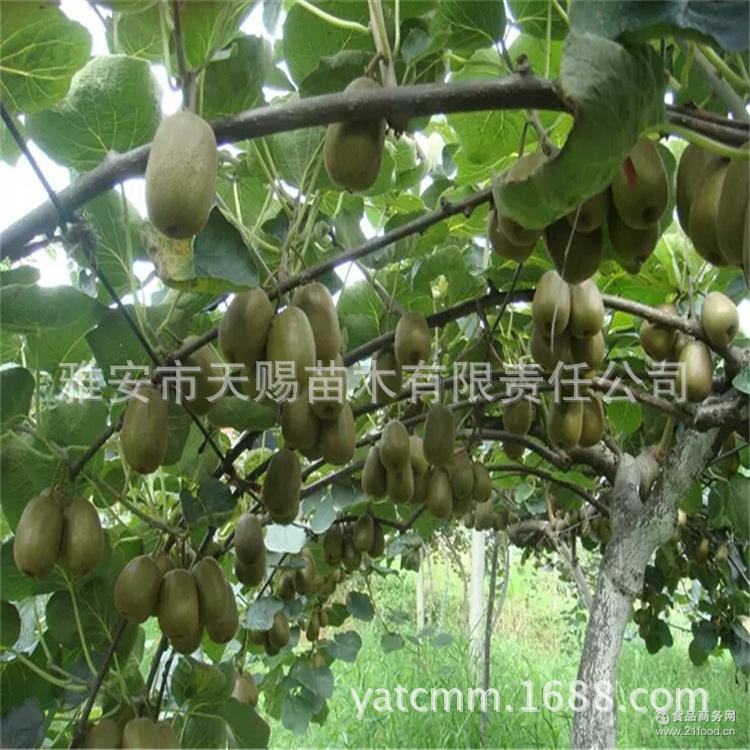 基地预售红心果猕猴桃鲜果高山精品水果二级果红心奇异果现摘包邮