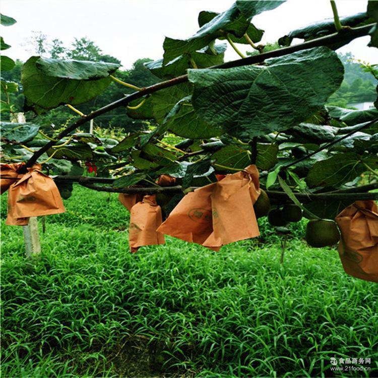 红心猕猴桃四川园林基地直发端正二级红心猕猴桃园林基地直发