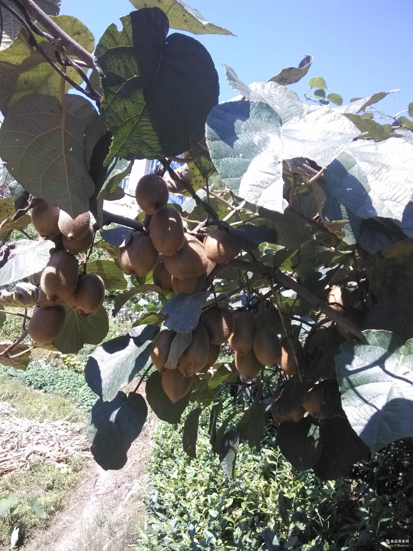 宜昌正宗猕猴桃 世界猕猴桃原产地 奇异果养生养神 3千克包邮