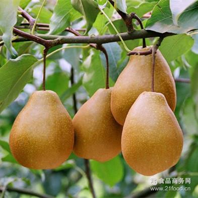 新鲜水果雪梨 原生态生鲜梨 产地现摘现发 正宗苍溪雪梨 20斤箱