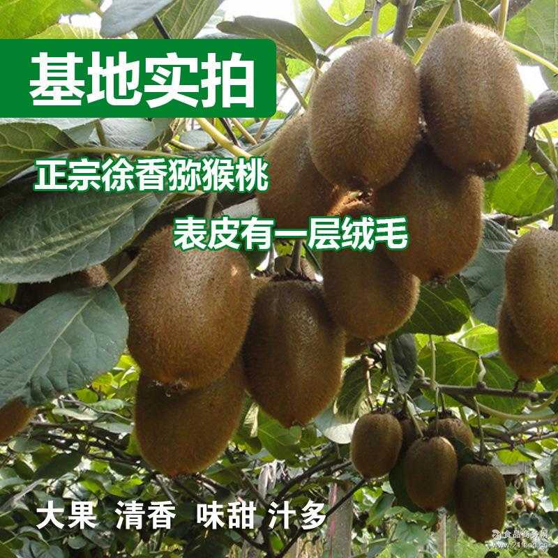 正宗江山徐香弥猕猴桃新鲜水果奇异果大果中果新果上市现摘10斤装