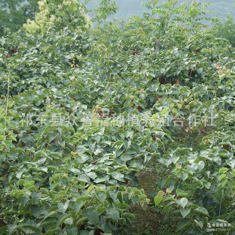 红心猕猴桃新品预售 无公害农产品猕猴桃批发果园直供 中果5斤