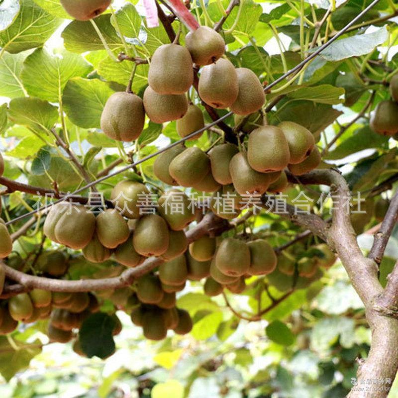 红心红阳猕猴桃奇异果新鲜水果30粒 【四面山】供应各超市水果