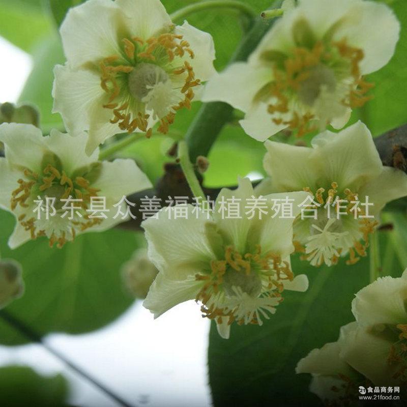 休闲食品 一箱10斤 猕猴桃 供应衡阳市祁东县红心猕猴桃