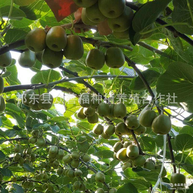 翠香猕猴桃产地直供新鲜水果包邮 马杜桥猕猴桃厂家直销奇异果