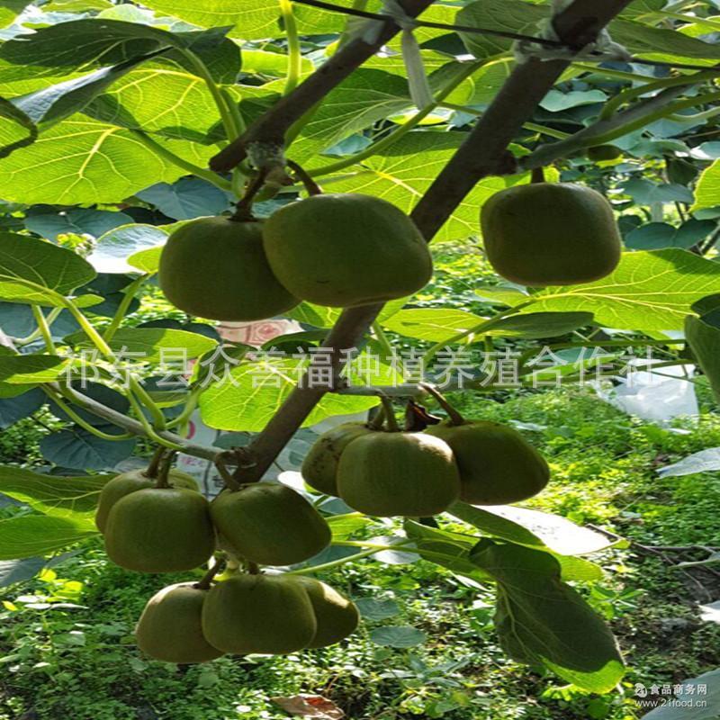 实拍�9�nZ[>i��ik�[_�_祁东县众善福种植红心猕猴桃果园挂果实拍图片