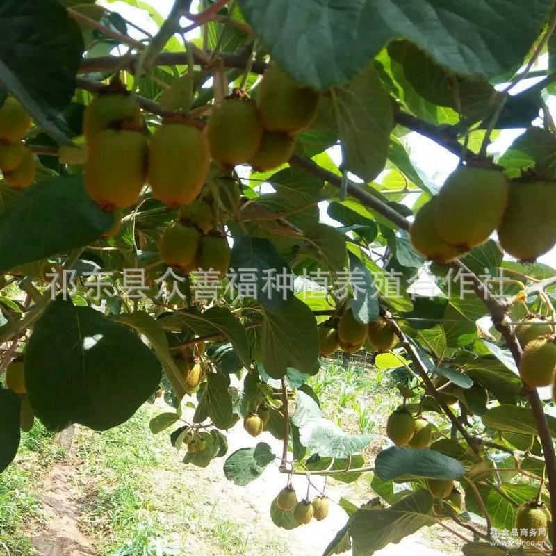厂家一件代发 新鲜 水果 孕妇宝宝 红阳奇异果4斤 红心猕猴桃