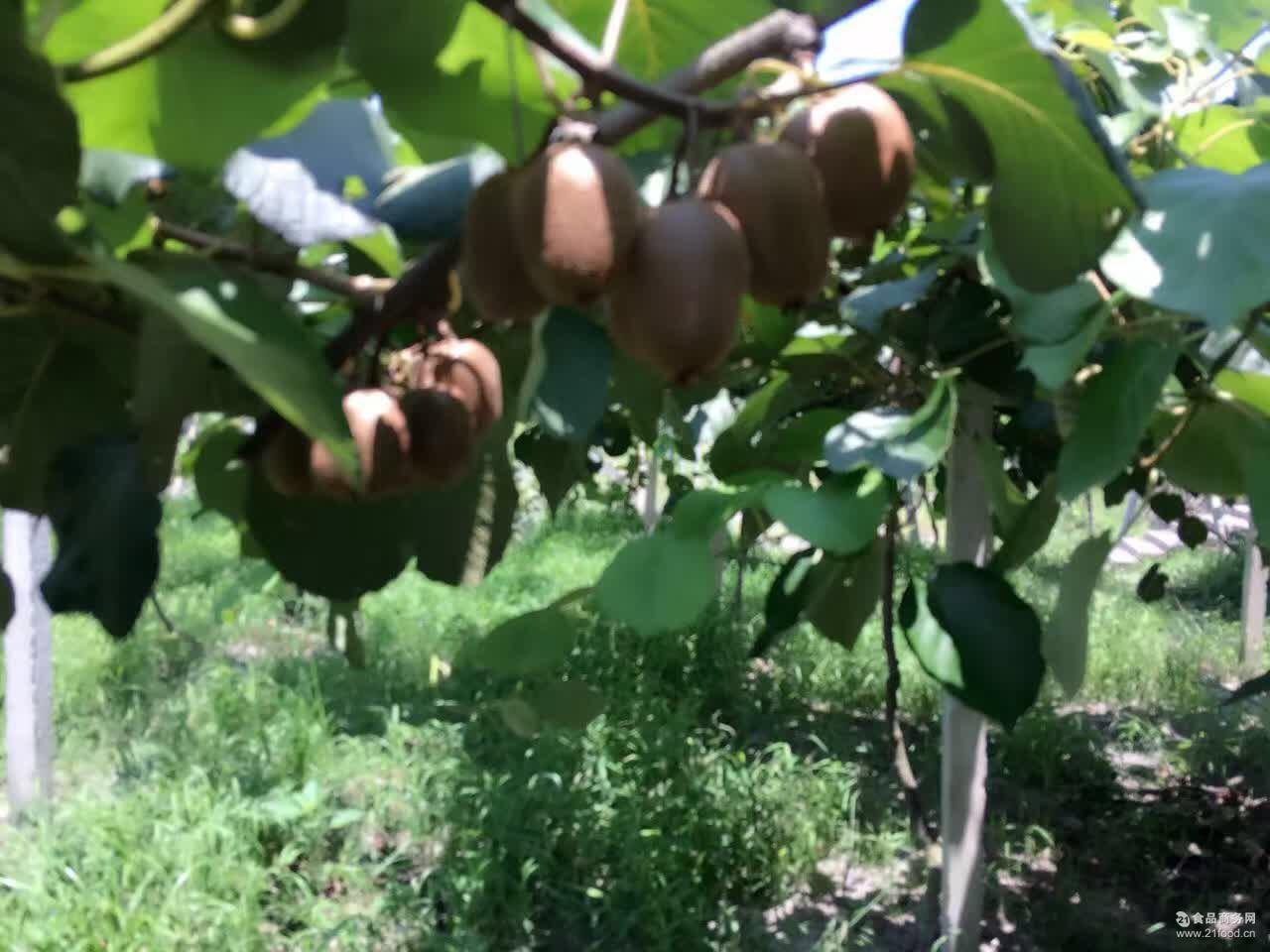 8月25号发货一件代发 预售徐香猕猴桃大果4.8斤-5斤25个左右