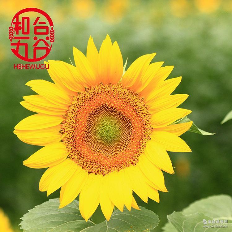 批发优等炒货363生葵花籽 好货内蒙古优质葵花籽