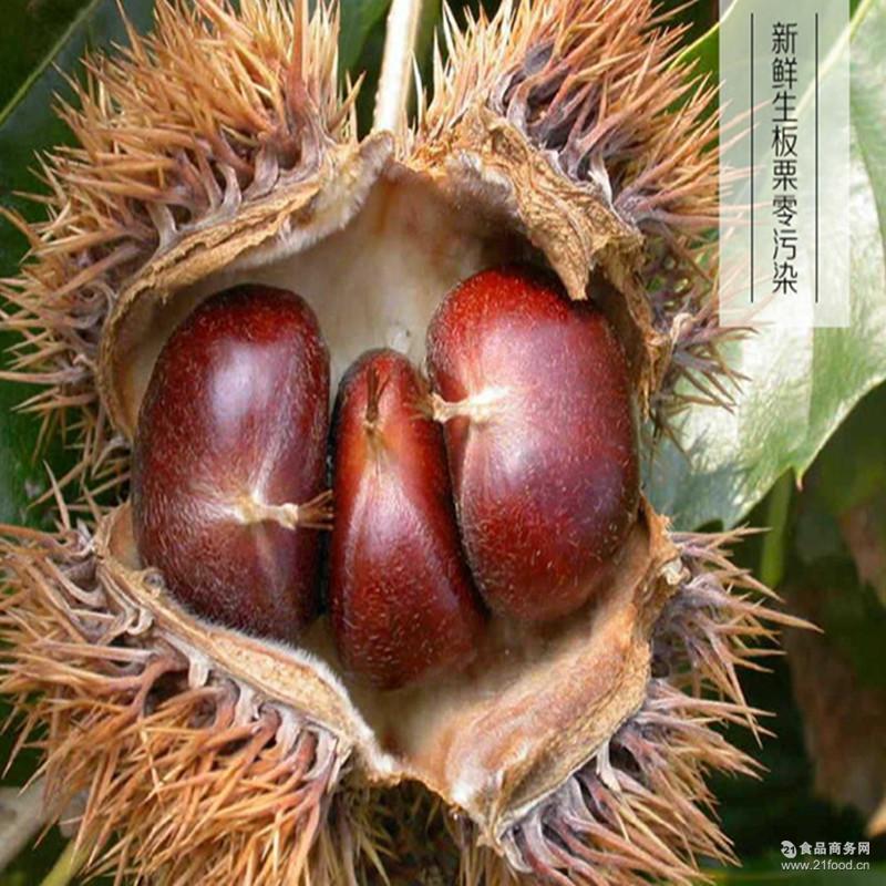 香甜软糯油栗子天然无公害量大优惠 大量出售山东土特产泰山板栗