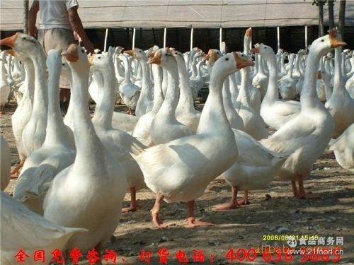 皖西鹅苗 孵化厂直销鹅苗 大三花鹅苗四季鹅苗 大种肉鹅苗