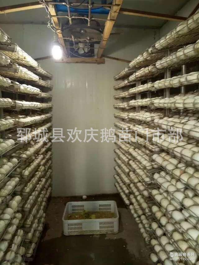 常年大量供应鹅蛋 鹅胚胎 鹅珠蛋15864698878 鹅种蛋 商品鹅蛋