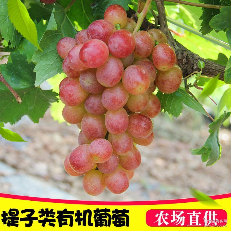 现摘现发有机葡萄果园直供有机提子葡萄新鲜水果2斤装一件代发