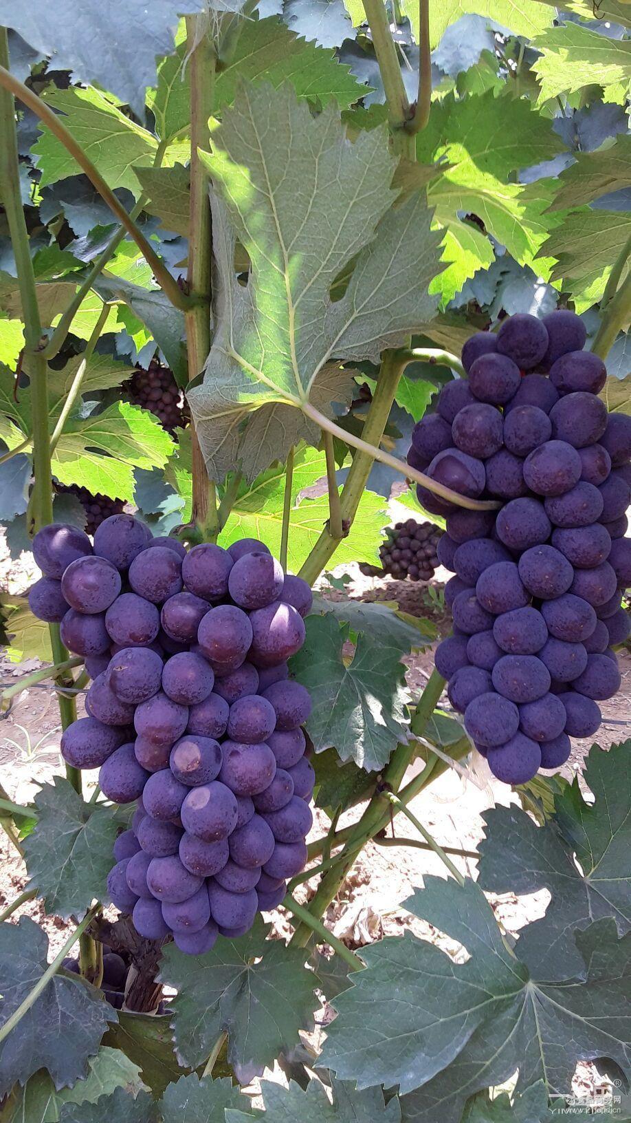 欢迎咨询问价采购。 其他品种也即将上市 京亚葡萄大量上市