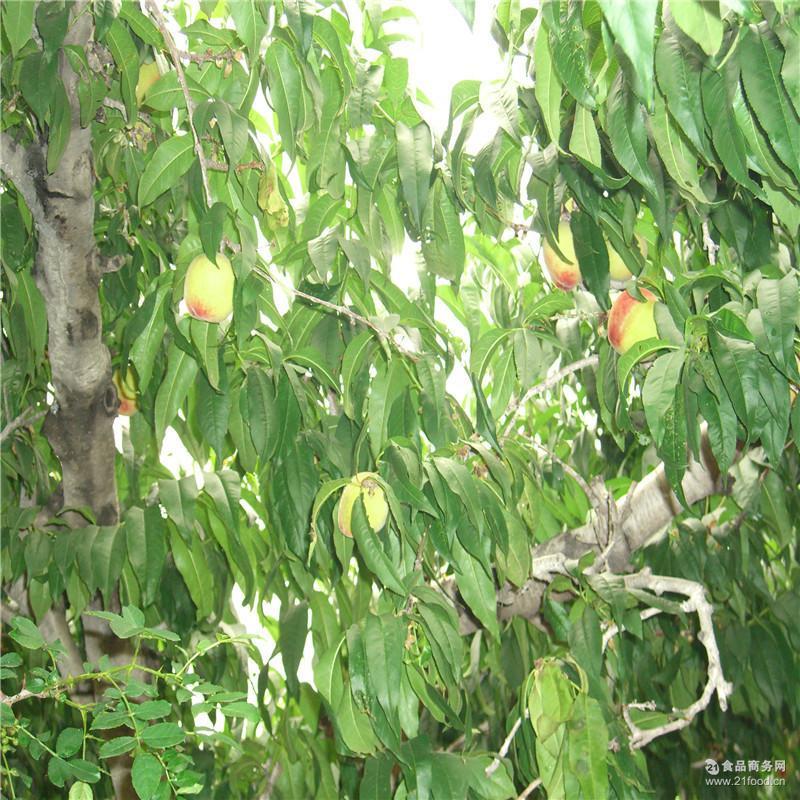 香甜可口 山东特产 肥城冬雪蜜桃 天然绿色有机食品 新鲜现摘