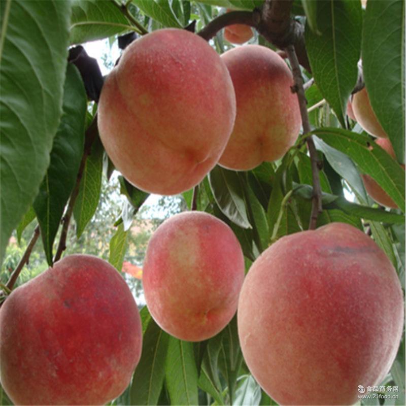 冬雪蜜桃 香甜可口 种植基地现货批发 现摘现发 山东水蜜桃