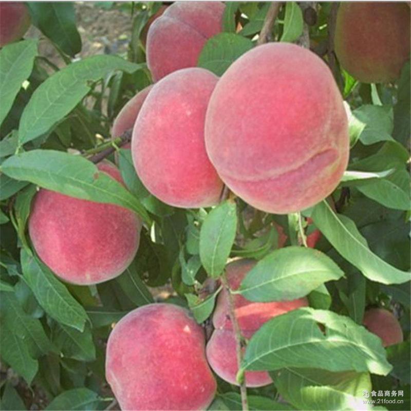 甜美多汁 皮薄肉厚 果园新鲜现摘肥城桃 正宗冬雪蜜桃 耐运输储藏
