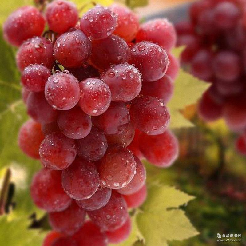 野藤葡萄 上虞巨玫瑰葡萄6斤装江南吐鲁番绿色香甜美味
