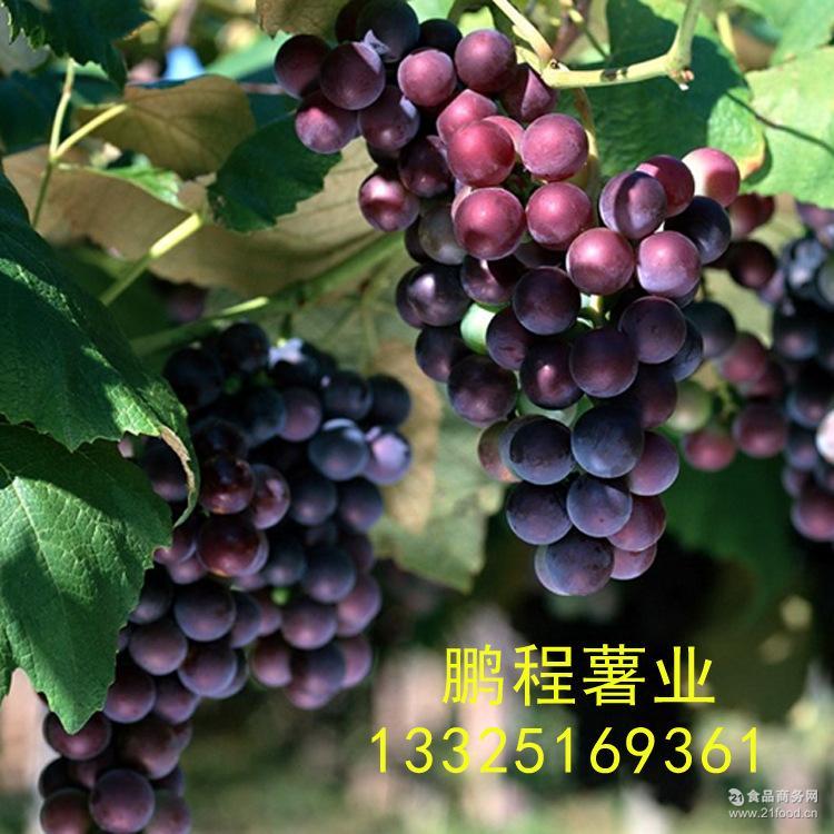 赤霞珠 高品质烟台产酿酒葡萄 蛇龙珠