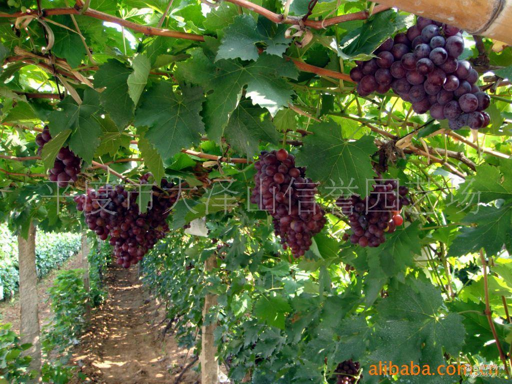 供应品种优良果实硕大的玫瑰香葡萄
