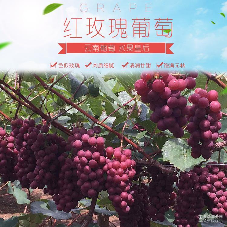 现摘现发高原生态种植山地*红玫瑰葡萄新鲜2500g(预售)