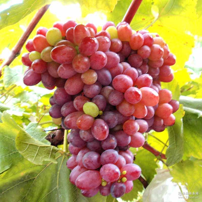 肉质脆香 有机水果 云南绿色新鲜富硒红葡萄 甘甜多汁养生葡萄