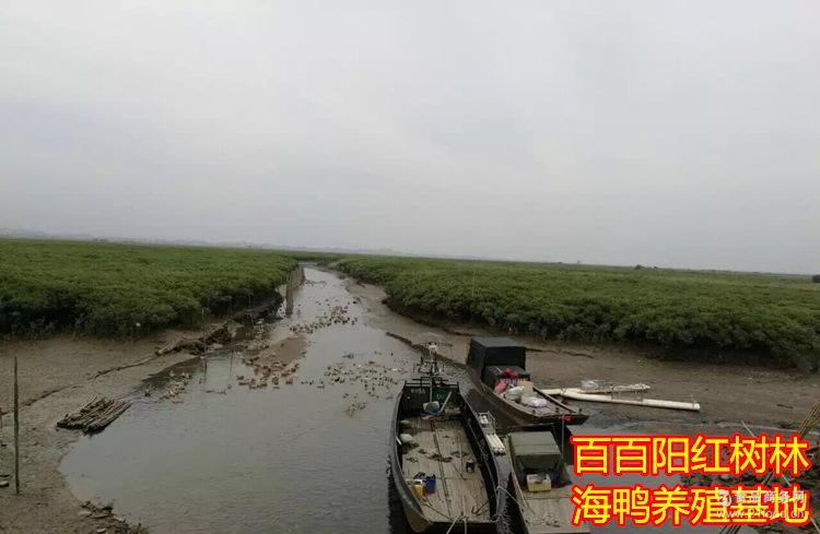 广西北部湾特产红树林烤海鸭蛋20枚平均65咸鸭蛋包邮