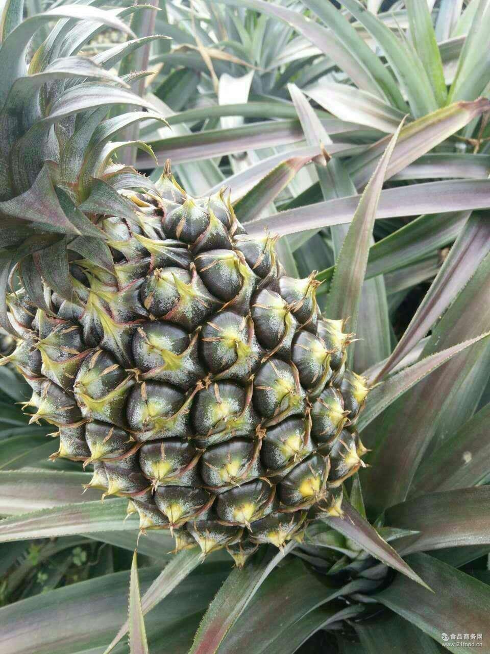 现货批发 凤梨 生鲜 水果 特产 绿色食品 甜 纯天然无公害
