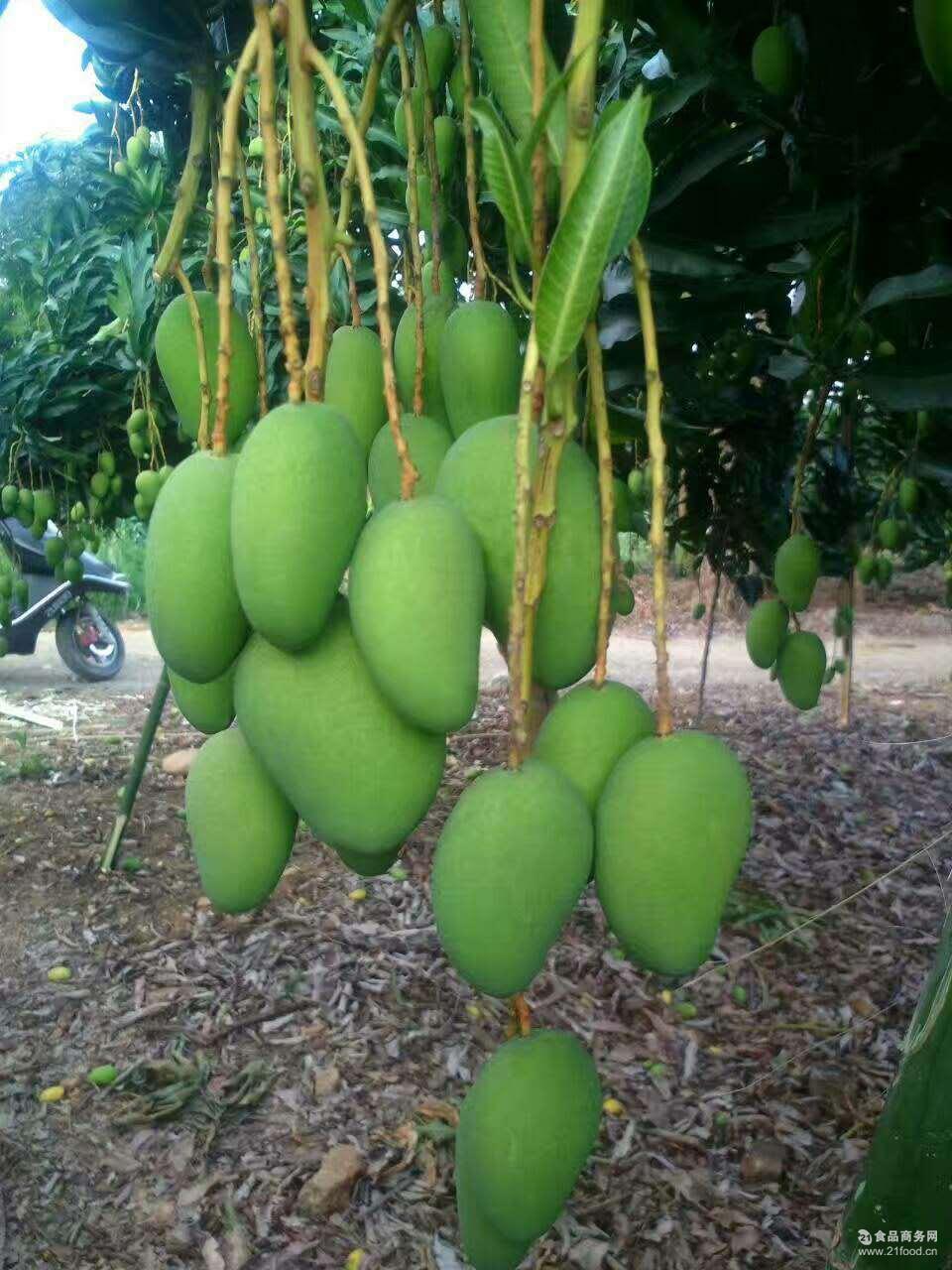广西百色小台农芒果新鲜热带水果一级大果散装包邮一斤起批招代理