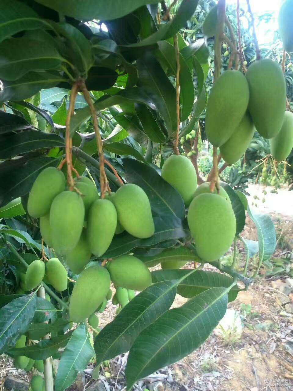 广西百色小台农芒果一级小果散装新鲜热带水果一件代发招代理