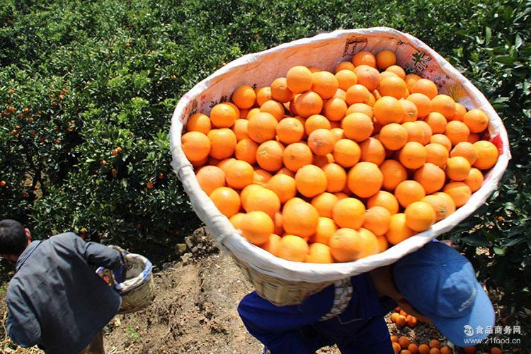 预售秭归脐橙橙子甜橙锦橙桃叶橙罗橙脐橙11