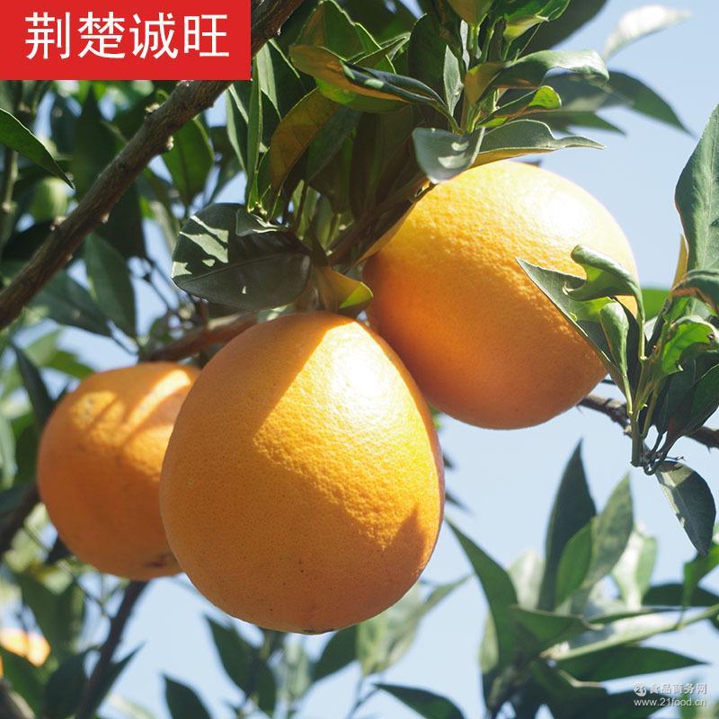 预售秭归脐橙橙子纽荷尔脐橙长红圆红脐橙5斤包邮11-2月上市