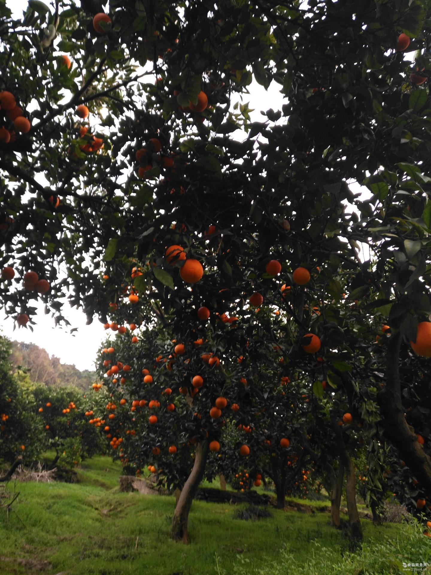 秭归现摘现发脐橙 赣州特产天然脐橙批发 新鲜橙子带叶顺丰包邮