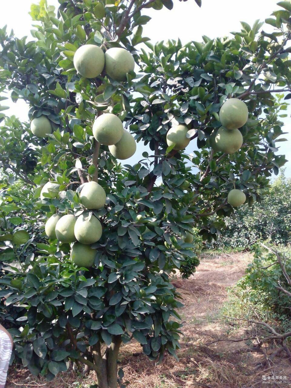 正宗赣南特产南康甜柚早熟蜜柚文旦柚子新鲜水果果园直销