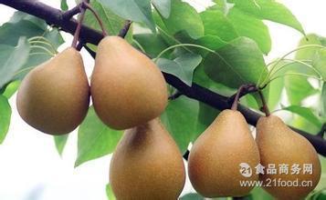 雪梨 正宗四川苍溪特产新鲜水果 优质批发礼盒冷链包装运输