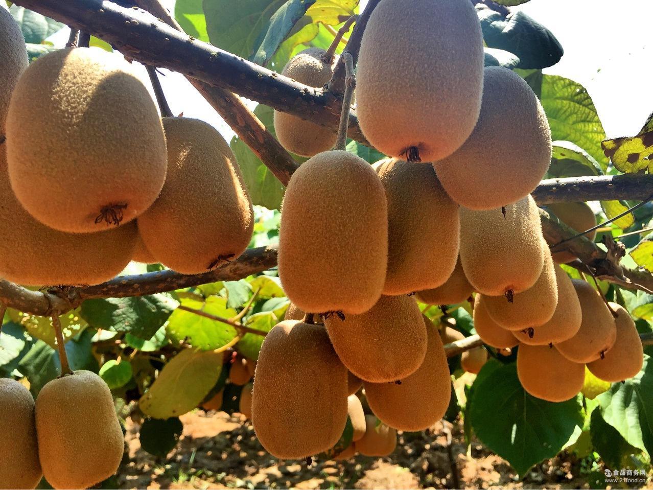 黄肉金艳猕猴桃 黄心 果园直销 奇异果 各种规格批发