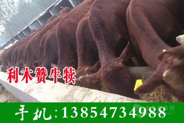 肉牛苗价格