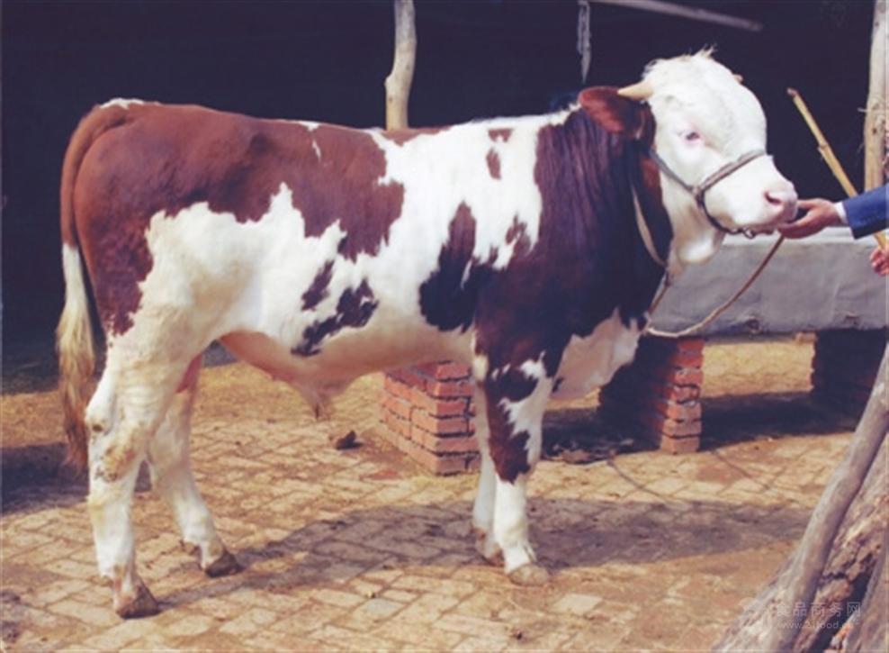 西门塔尔母牛$东北西门塔尔母牛多少钱一头
