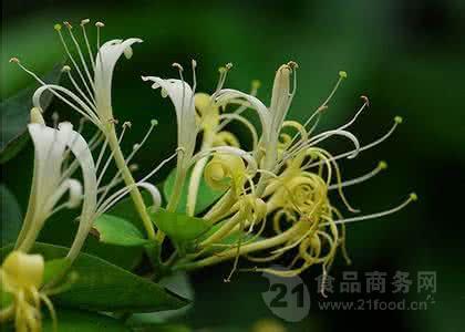 供应优质金银花提取物5%(HoneySuchleFlowers)金银花绿原酸