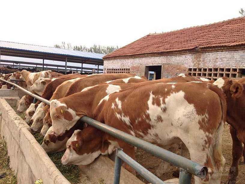 吉林肉牛价格$一头小牛犊多少钱