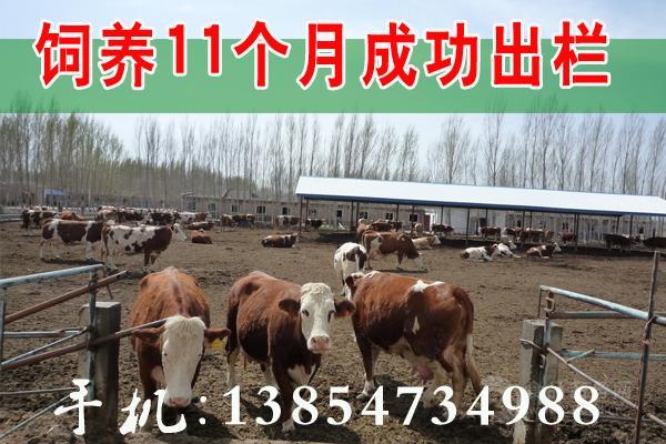 今日三元杂交牛黄牛价格