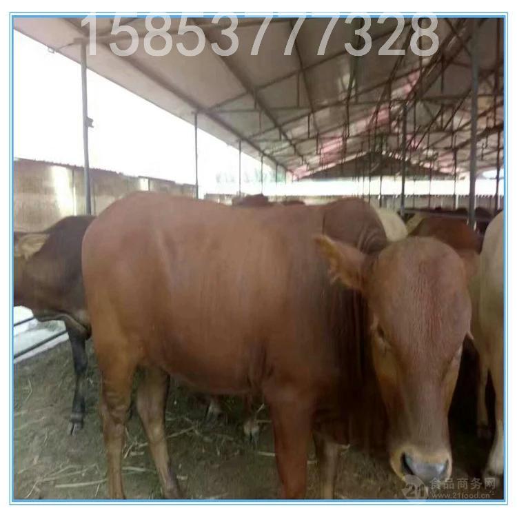 夏洛莱牛品种