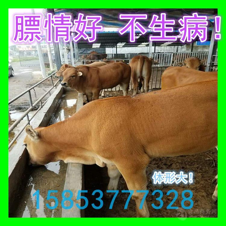 1200元牛犊有多重
