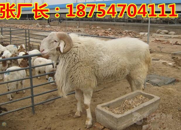 小尾寒羊价格$小尾寒羊羊羔价格