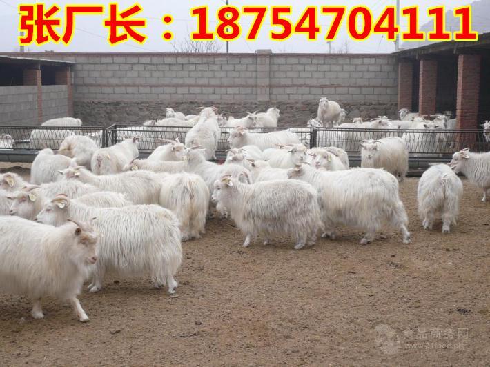 白山羊价格$贵州白山羊$现在山羊价格