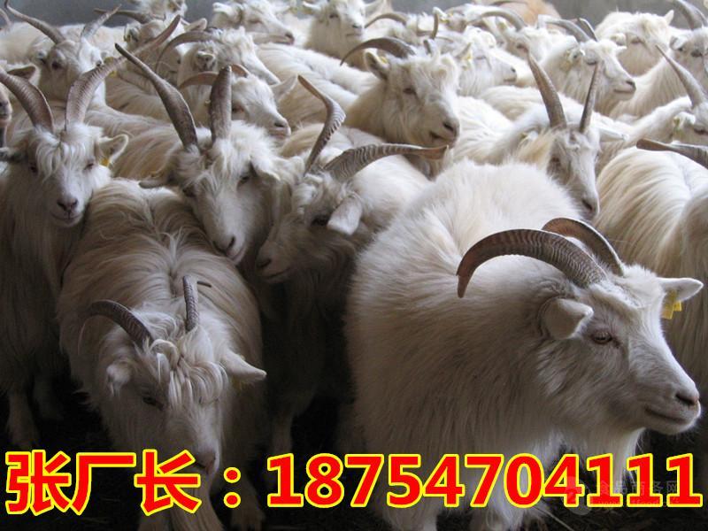 小尾寒羊市场分析$小尾寒羊吧