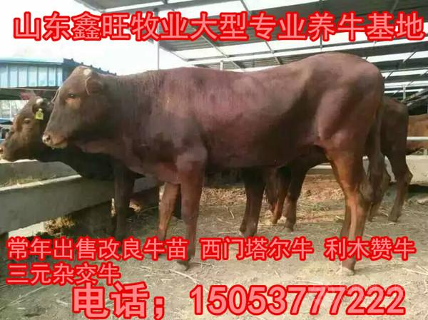 肉牛价格种牛价格